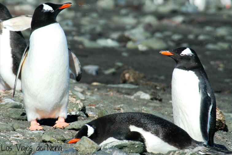 Pingüinos Papúa en Islas Aitcho