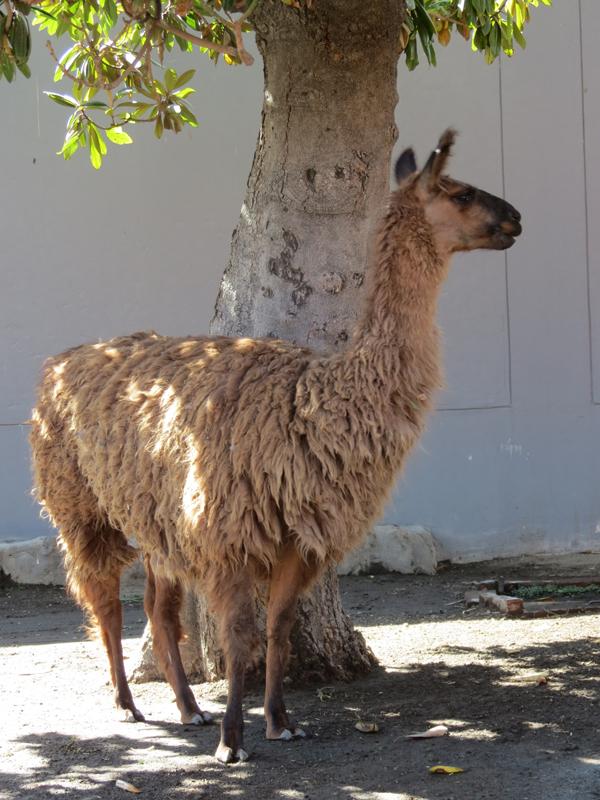 llamas y alpacas (2)
