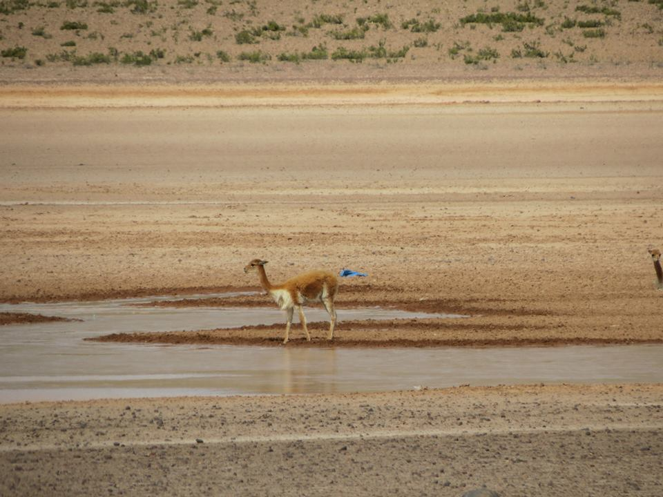 zona vicuñas